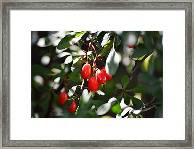 Barberries Framed Print