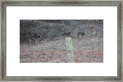Barbwire And Whitetails Framed Print by Carolyn Postelwait
