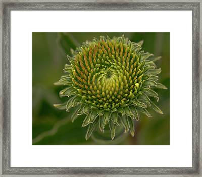 Barely Started Echinacea Framed Print by Jean Noren