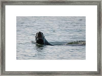 Barking Sea Lion Framed Print by Loree Johnson