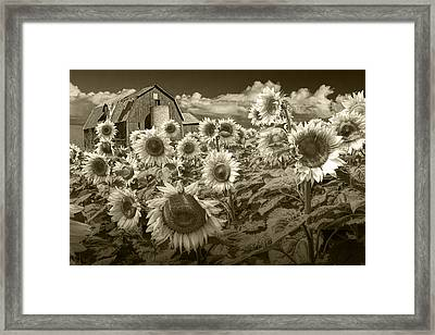 Barn And Sunflowers In Sepia Tone Framed Print
