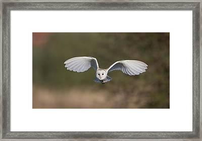Barn Owl Approaching Framed Print