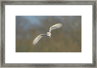 Barn Owl Hunting In Worcestershire Framed Print