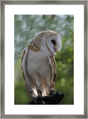 Barn Owl Framed Print by Keith Lovejoy