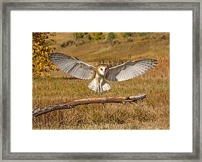 Barn Owl Landing Framed Print