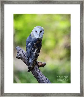 Barn Owl Looking Over It's Shoulder Framed Print