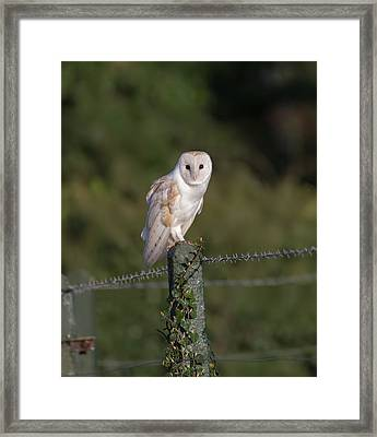 Barn Owl On Ivy Post Framed Print