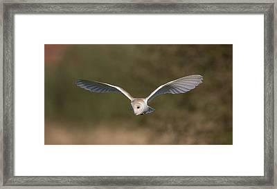 Barn Owl Quartering Framed Print