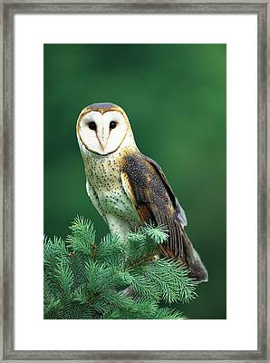 Barn Owl Tyto Alba Portrait, Hudson Framed Print by Tom Vezo