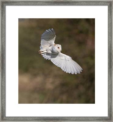 Barn Owl Wings Framed Print