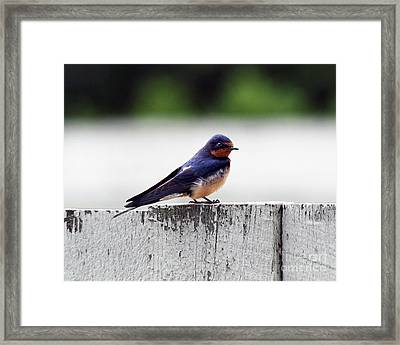 Barn Swallow At Fort Larned Framed Print