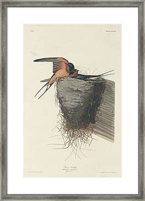 Barn Swallow Framed Print by Rob Dreyer