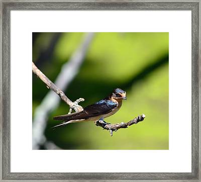 Barn Swallow Framed Print