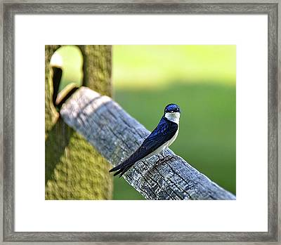 Barn Swallow Looking Angry Framed Print by Ronda Ryan