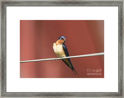 Barn Swallow Framed Print by Marie Read