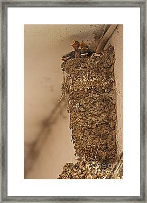Barn Swallow Nest Framed Print by Neil Bowman/FLPA