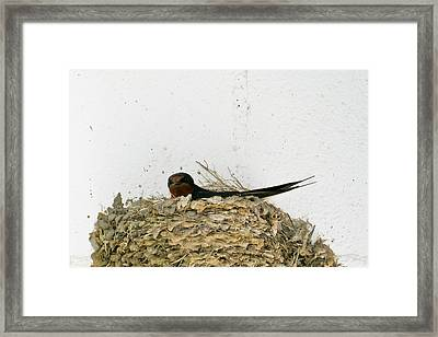 Barn Swallow Nesting Framed Print by Douglas Barnett