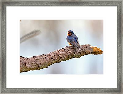 Barn Swallow On Assateague Island Framed Print by Rick Berk