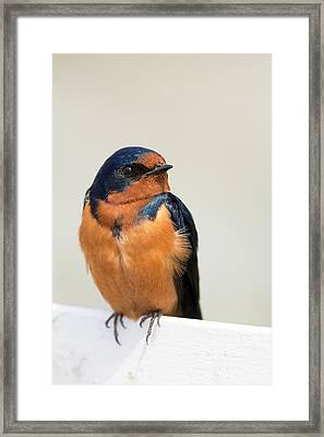 Barn Swallow Perched On A Fence Framed Print by Jpldesigns