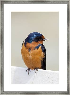 Barn Swallow Perched On A Fence Watching Framed Print