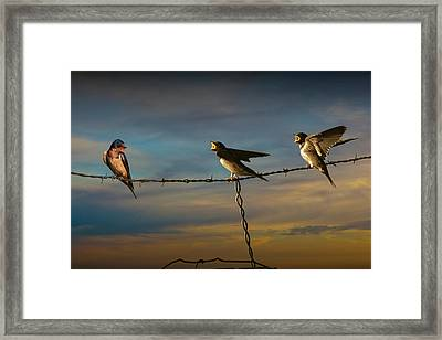 Barn Swallows On Barbwire Fence Framed Print