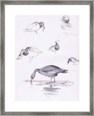 Barnacle And White Fronted Geese Framed Print by Archibald Thorburn