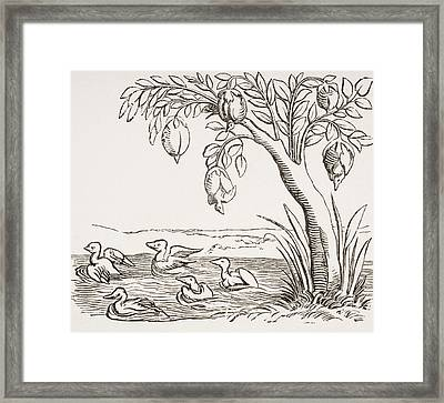 Barnacle Geese. 19th Century Copy Of Framed Print