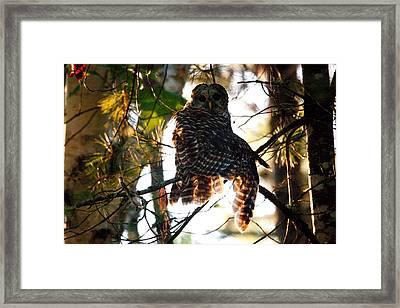 Barred Owl At Sunrise Framed Print