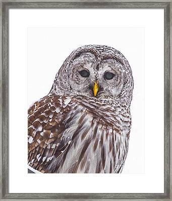 Barred Owl Framed Print by Benjamin Williamson