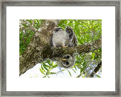 Framed Print featuring the photograph Barred Owlet Contortionist by Phil Stone