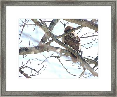 Barred Owl Framed Print by Debbie Hall