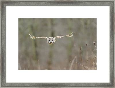Barred Owl In Flight II Framed Print by Scott  Linstead