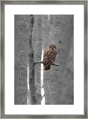Barred Owl In Winter Woods #1 Framed Print