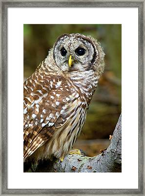 Barred Owl Juvie Framed Print by Timothy McIntyre