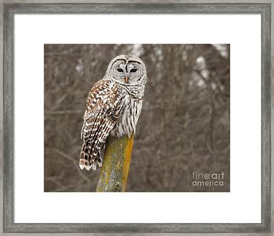 Barred Owl Framed Print by Kathy M Krause