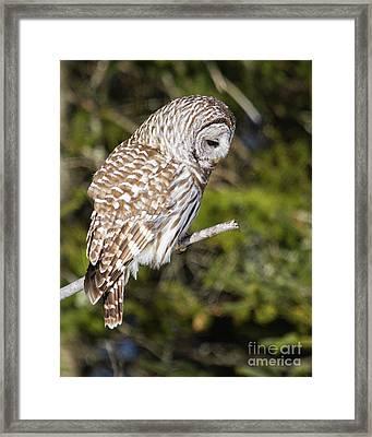 Barred Owl Listening Framed Print by Lloyd Alexander