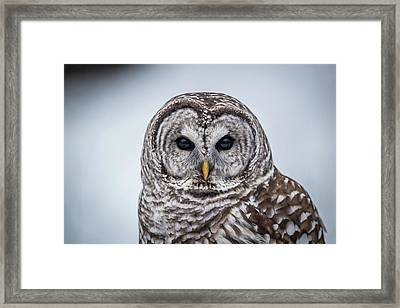 Barred Owl Framed Print by Paul Freidlund