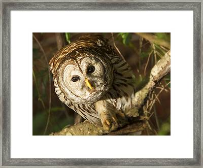 Barred Owl Peering Framed Print by Jean Noren