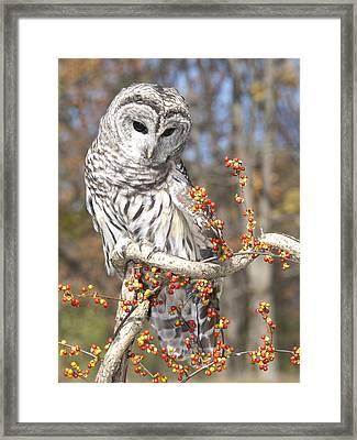 Barred Owl Portrait Framed Print by Cindy Lindow