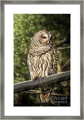 Barred Owl Framed Print by Robert Frederick