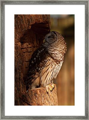 Framed Print featuring the digital art Barred Owl Sleeping In A Tree by Chris Flees