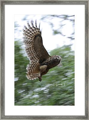 Barred Owl Taking Flight Framed Print