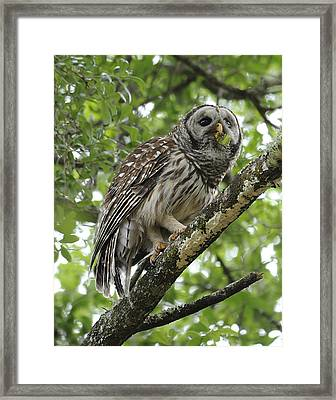 Barred Owl With A Snack Framed Print by Keith Lovejoy