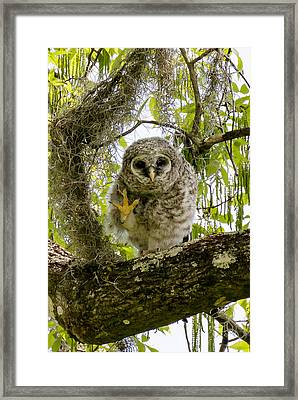 Framed Print featuring the photograph Barred Owlet High Four by Phil Stone