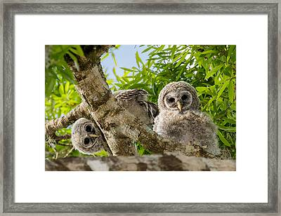 Barred Owlet Twins Framed Print by Phil Stone