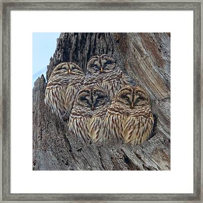 Barred Owls Who Are You Framed Print by Betsy Knapp