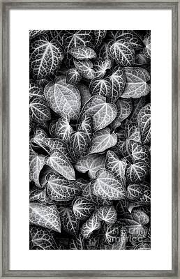 Barrenwort Leaves Framed Print by Tim Gainey