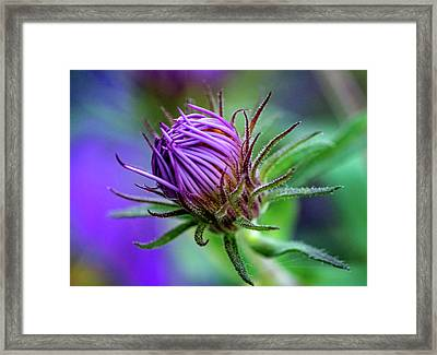 Bashful Aster Framed Print by Steve Harrington