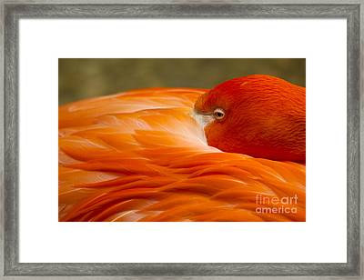 Bashful Flamingo Framed Print