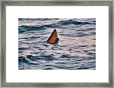 Basking Shark In July Framed Print